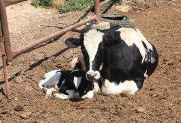 """הודעה ממנהל השו""""ט בשדה על חיסון כלבת לבקר והצאן"""