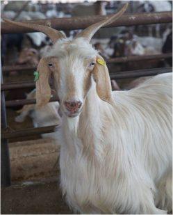 מדיניות התשלום לחלב עזים המיוצר מעבר למכסה בשנת 2019
