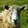 אמות מידה לחלוקת תוספת המכסות בענף החלב לכבשים לשנת 2013
