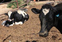 כנס מדעי הבקר והצאן 2019 – מושב 17- הזנה ומספוא (פרופ' סמיר מבג'יש)